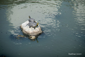 溫仔第一號排水溝~鳥群:20201111大排鳥群-005