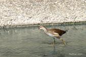 溫仔第一號排水溝~鳥群:20201111大排鳥群-006