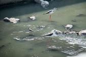 溫仔第一號排水溝~鳥群:20201111大排鳥群-009