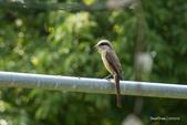 台灣鳥:台灣鳥 1091015-005
