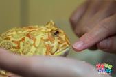 黃金角蛙~長大記:黃金角蛙~長大記 1090125-04