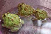 黃金角蛙~長大記:黃金角蛙~長大記 1090418-04