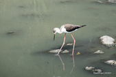 溫仔第一號排水溝~鳥群:20201111大排鳥群-003