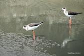 溫仔第一號排水溝~鳥群:20201111大排鳥群-007
