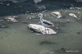 溫仔第一號排水溝~鳥群:20201111大排鳥群-011