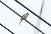 台灣鳥:台灣鳥 1091111-006