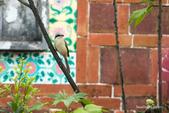 台灣鳥:台灣鳥 1091111-002