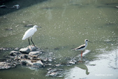 溫仔第一號排水溝~鳥群:20201111大排鳥群-008