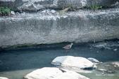 溫仔第一號排水溝~鳥群:20201111大排鳥群-012