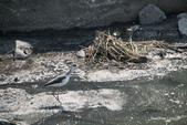 溫仔第一號排水溝~鳥群:20201111大排鳥群-013