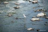 溫仔第一號排水溝~鳥群:20201111大排鳥群-001