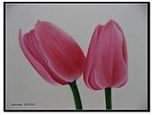 我的粉彩作品:200509 鬱金香