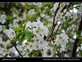 20080329-30 阿里山賞櫻:DSC_4264.jpg
