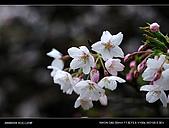 20080329-30 阿里山賞櫻:DSC_4300.jpg