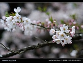 20080329-30 阿里山賞櫻:DSC_4303.jpg