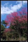 20100224 觀霧櫻花:DSC_3650.jpg