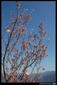 20100224 觀霧櫻花:DSC_3634.jpg