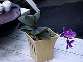 ◤草木&花園:淺娘的蘭花 1