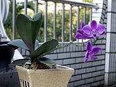 ◤草木&花園:淺娘的蘭花 2