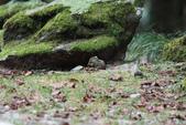 大雪山森林遊樂區:條紋松鼠IMG_0766.JPG