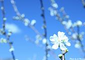 雜七雜八的照片集:白梅花-南橫.jpg