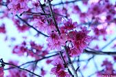 雜七雜八的照片集:櫻花-南橫.jpg