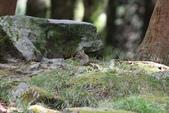 大雪山森林遊樂區:條紋松鼠IMG_0765.JPG