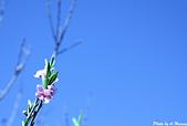雜七雜八的照片集:粉紅桃花-南橫.jpg