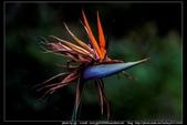 金門飛禽走獸花卉精華篇,其它散見於拍攝地點的相簿內。:金門飛禽走獸花卉精華篇37.jpg