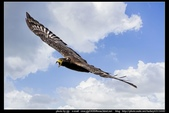 『Iron Han』(鋼鐵韓)雄鷹起飛,大冠鷲百變霸相精華版,編號102直擊大冠鷲的俯衝:大冠鷲002.jpg
