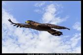 『Iron Han』(鋼鐵韓)雄鷹起飛,大冠鷲百變霸相精華版,編號102直擊大冠鷲的俯衝:大冠鷲005.jpg