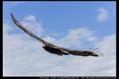 『Iron Han』(鋼鐵韓)雄鷹起飛,大冠鷲百變霸相精華版,編號102直擊大冠鷲的俯衝:大冠鷲013.jpg