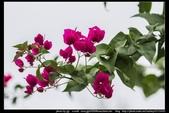 金門飛禽走獸花卉精華篇,其它散見於拍攝地點的相簿內。:金門飛禽走獸花卉精華篇28.jpg