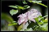 苗栗縣頭屋鄉『雅聞七里香玫瑰森林』,浪漫歐式玫瑰花園、香氛步道美到讓人無法忘懷:雅聞七里香玫瑰森林80.jpg