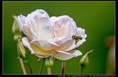 苗栗縣頭屋鄉『雅聞七里香玫瑰森林』,浪漫歐式玫瑰花園、香氛步道美到讓人無法忘懷:雅聞七里香玫瑰森林67.jpg