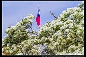 『石門水庫管理局』每逢四月一排平凡無奇的樹林,瞬間開闊的樹傘上積滿了白雪,是北台灣最美的流蘇花景點:石門水庫管理局19.jpg