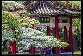 『石門水庫管理局』每逢四月一排平凡無奇的樹林,瞬間開闊的樹傘上積滿了白雪,是北台灣最美的流蘇花景點:石門水庫管理局01.jpg