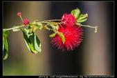 金門飛禽走獸花卉精華篇,其它散見於拍攝地點的相簿內。:金門飛禽走獸花卉精華篇41.jpg