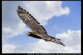 『Iron Han』(鋼鐵韓)雄鷹起飛,大冠鷲百變霸相精華版,編號102直擊大冠鷲的俯衝:大冠鷲003.jpg