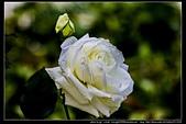 苗栗縣頭屋鄉『雅聞七里香玫瑰森林』,浪漫歐式玫瑰花園、香氛步道美到讓人無法忘懷:雅聞七里香玫瑰森林64.jpg