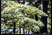 『石門水庫管理局』每逢四月一排平凡無奇的樹林,瞬間開闊的樹傘上積滿了白雪,是北台灣最美的流蘇花景點:石門水庫管理局15.jpg