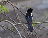 家門前初生之喜鵲羽翼已豐在練飛(與看官們分享喜悅):初飛喜鵲02.JPG