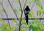 家門前初生之喜鵲羽翼已豐在練飛(與看官們分享喜悅):初飛喜鵲03.JPG