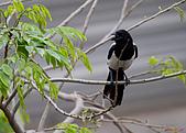 家門前初生之喜鵲羽翼已豐在練飛(與看官們分享喜悅):初飛喜鵲04.JPG