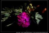 金門飛禽走獸花卉精華篇,其它散見於拍攝地點的相簿內。:金門飛禽走獸花卉精華篇39.jpg