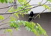 家門前初生之喜鵲羽翼已豐在練飛(與看官們分享喜悅):初飛喜鵲05.JPG