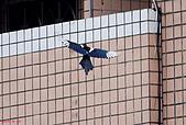 家門前初生之喜鵲羽翼已豐在練飛(與看官們分享喜悅):初飛喜鵲06.JPG