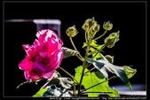 金門飛禽走獸花卉精華篇,其它散見於拍攝地點的相簿內。:金門飛禽走獸花卉精華篇40.jpg