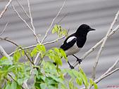 家門前初生之喜鵲羽翼已豐在練飛(與看官們分享喜悅):初飛喜鵲11.JPG