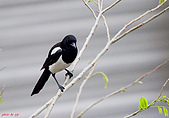 家門前初生之喜鵲羽翼已豐在練飛(與看官們分享喜悅):初飛喜鵲13.JPG
